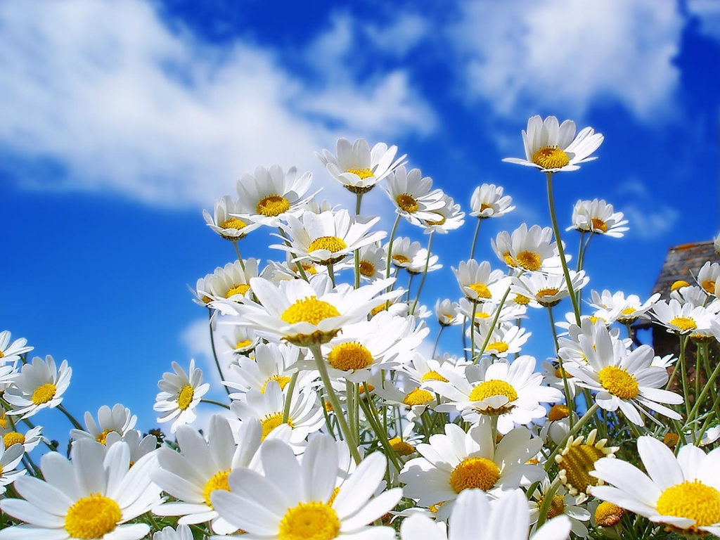 Free and clear Where did daisies originate